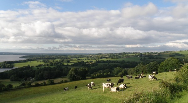 Lough Derg viewpoint with cows of Ireland